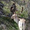 Spotted Fallow Deer